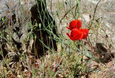 Free Poppy Flowers On Stony Ground Stock Images - 14438764