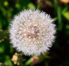 Free Dandelion Royalty Free Stock Image - 14438996