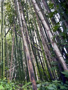 Free Bamboo Royalty Free Stock Photos - 14439108