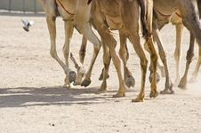 Free Camels At The Races Stock Photography - 14439112