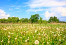 Free White Dandelions In A Grass Royalty Free Stock Images - 14439119