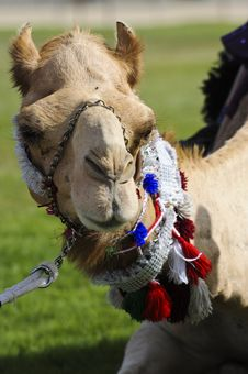 Free Camels At The Races Royalty Free Stock Photography - 14439127