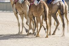Free Camels At The Races Royalty Free Stock Images - 14439219
