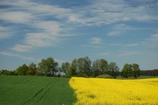 Free Field Of Oilseed Rape Stock Photos - 14439363