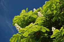 Free Chestnut Tree Stock Photography - 14439392