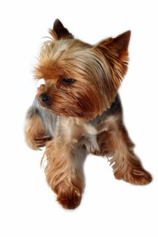 Free Yorkshire Terrier Royalty Free Stock Photos - 14439448