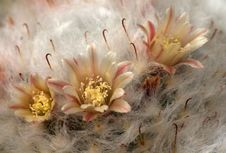 Cactus Flowers Stock Photo