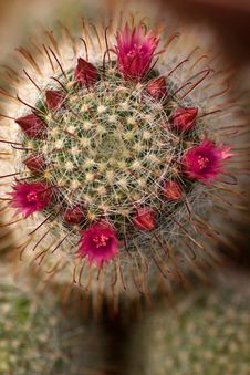 Cactus Flowers Royalty Free Stock Image