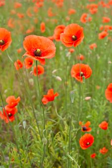 Free Beautiful Poppies In A Field Stock Image - 14439531