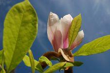 Free White Magnolia Royalty Free Stock Photo - 14439745