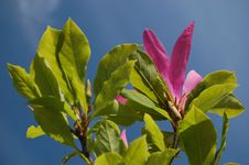 Pink Magnolia Stock Image