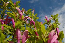 Free Pink Magnolias Royalty Free Stock Photos - 14439798