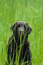 Free Hiding Labrador Royalty Free Stock Photos - 14446088
