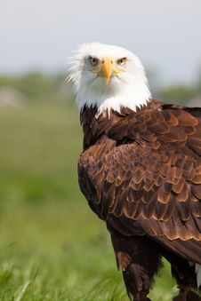 Free Eagle Is Watching You Stock Image - 14440541