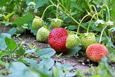 Free Strawberry Royalty Free Stock Photo - 14440745