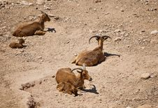 Free Mountain Goats Stock Photography - 14440852