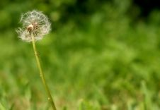 Free Dandelion Royalty Free Stock Photography - 14441097