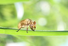 Free Cicada Stock Photography - 14441202