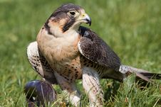 Free Hawk Eating It S Prey Royalty Free Stock Image - 14441756