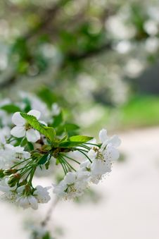 Free Flower Tree Stock Photo - 14441800