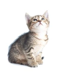 Free Little Striped Kitten Looking Up Royalty Free Stock Photos - 14442418