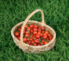 Free Summer Tomato Harvest Stock Images - 14443194
