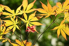 Free Spring Maple Leaves Royalty Free Stock Photos - 14443458