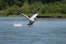 Free Dalmatian Pelican Royalty Free Stock Photos - 14443918