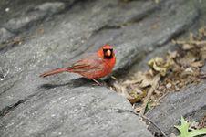 Free Northern Cardinal: Cardinalis Cardinalis Stock Images - 14444054