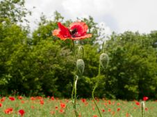 Free Red Poppies Stock Images - 14444764