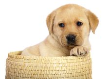 Free Pup In A Basket. Stock Photography - 14445262