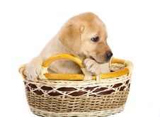 Free Pup In A Basket. Royalty Free Stock Photo - 14445285