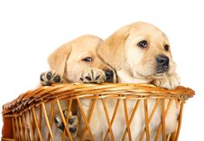 Free Puppies In A Basket. Stock Photography - 14445332