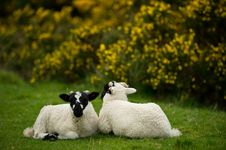 Lambs Royalty Free Stock Image
