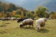 Free Sheep In Mountains. Royalty Free Stock Photography - 14445377