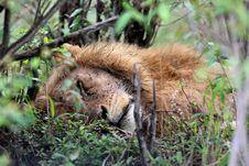 Free Lion Stock Photos - 14446483