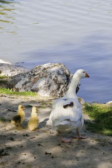 Free A Family Of Geese Stock Photo - 14448380