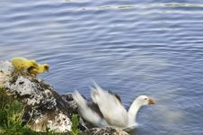 A Family Of Geese Stock Photography