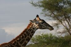 Free Africa,Tarangire  Portrait Giraffe Stock Photography - 14448742