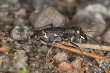 Free Wood Tiger Beetle (Cicindela Sylvatica) Stock Photo - 14449230