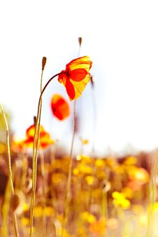 Free Poppy Fields Stock Photography - 14449282