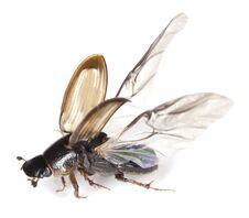 Free Dung Beetle (Aphodius Prodromus) Isolated On White Stock Photos - 14449523