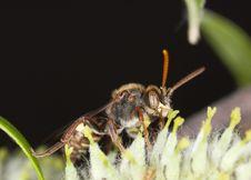 Free Pollinating Cuckoo Bee. Stock Photo - 14449620