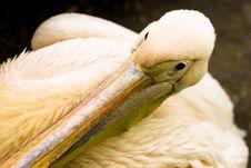 Free Pelican Stock Image - 14449621