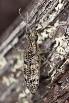 Ribbed Pine Borer (Rhagium Inquisitor) Royalty Free Stock Images
