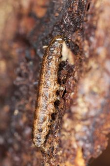 Free Larvae On Tree. Stock Photography - 14449792
