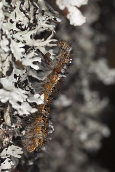 Free Moth Larvae Climbing Up A Tree. Royalty Free Stock Photography - 14449817