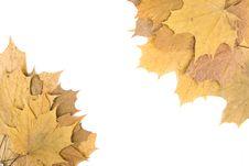 Autumn Maple Leaves Royalty Free Stock Photos