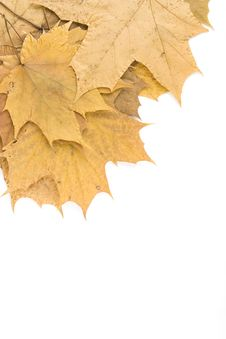 Free Autumn Maple Leaves Royalty Free Stock Photography - 14449947