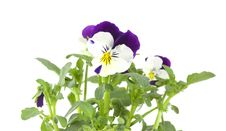 Free Pansy Isolated On White Background. Stock Photography - 14449952